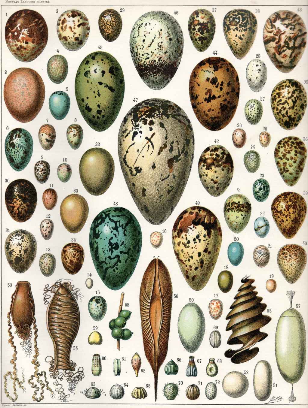 Illustration of Eggs and Shells by Adolphe Millot